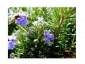 Набор для выращивания Зеленый капитал Розмарин от 7 лет zk-036