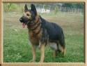 Мягкая игрушка собака Hansa Немецкая овчарка искусственный мех синтепон коричневый черный 98 см 3785
