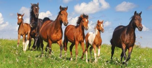 Купить Пазл 600 Лошади, Кастор, Пазлы-картины