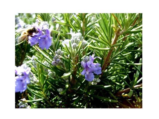Набор для выращивания Зеленый капитал Розмарин от 7 лет zk-036 наборы для выращивания растений вырасти дерево набор для выращивания ель канадская голубая
