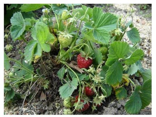 Набор для выращивания ВЫРАСТИ ДЕРЕВО Земляника ананасная zk-038 наборы для выращивания вырасти дерево набор для выращивания гранат обыкновенный